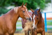 Two Arabian Horses Eating Hay