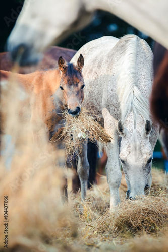 Fotografie, Obraz  Arabian mare with foal eating hay outdoor