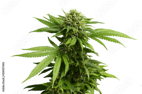 Cuadros en Lienzo Big Leafy Cannabis Plant with Marijuana Buds Isolated By White Background
