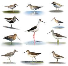 Set Of Shorebirds On White Bac...