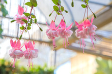 Fuchsia Flower Background