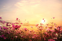 Landscape Nature Background Of Beautiful Pink And Red Cosmos Flower Field With Sunset. Vintage Color Tone