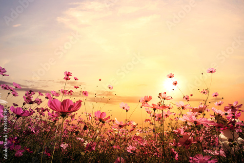Aluminium Prints Universe Landscape nature background of beautiful pink and red cosmos flower field with sunset. vintage color tone