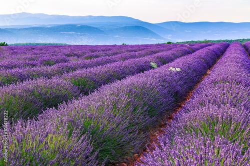 Fototapeta Lavender field summer landscape near Sault obraz na płótnie