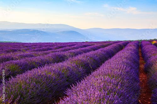 Poster Prune Lavender field summer landscape near Sault