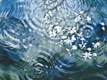 Ripples On A Pond With Magnolia Petals And Reflection