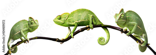 Photo sur Aluminium Cameleon chameleon - Chamaeleo calyptratus on a branch