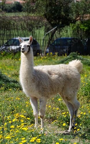 Staande foto Lama Llama lama in the zoo outdoors