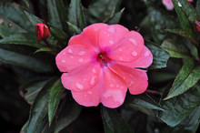 Busy Lizzie Pink Flower