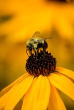 A Bumblebee (Bombus Sp.) Feeds...