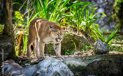 Ingelijste posters Puma Wild Puma