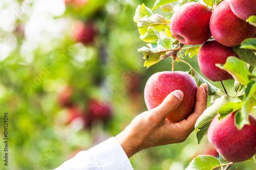 Fotografia Set of apples on Lake Constance Germany