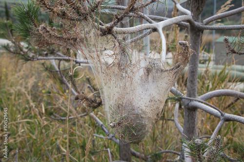 Fotografie, Obraz  Processionaria del pino.Thaumetopoea pityocampa