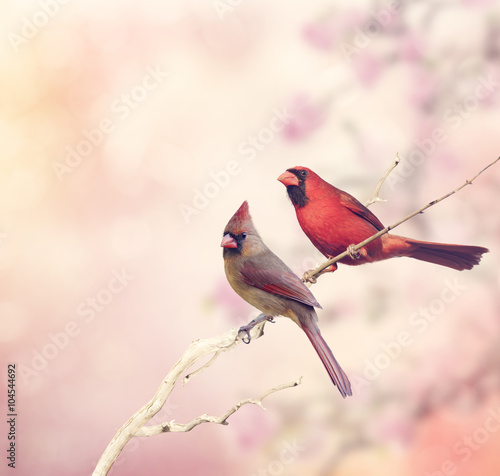 Photo  Two Northern Cardinals