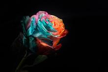 Rainbow Rose, Close-up, Macro.