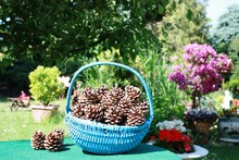 Pine Cones Collected In Flower...