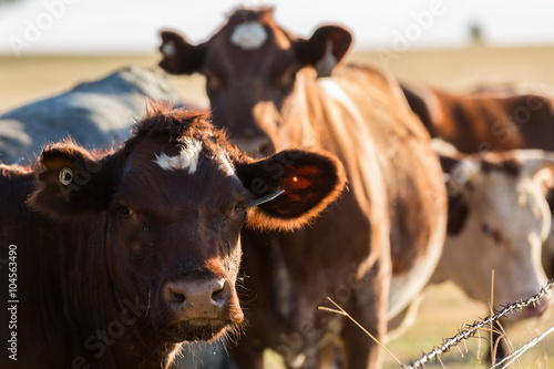 Canvas Print Cattle in field