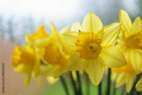 Deurstickers Narcis Flowers - Daffodil, Jonquil