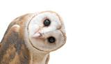 Fototapeta Zwierzęta - common barn owl ( Tyto albahead ) isolated