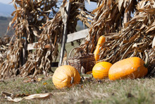 Squashes And Dried Corn Stalks