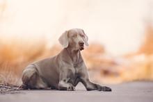 Weimaraner Dog Lying Down At S...