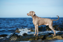 Weimaraner Dog Posing At The B...