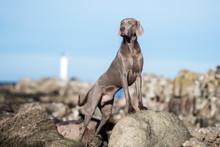Weimaraner Dog Posing At The Beach