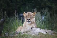 Lioness Relaxing In Norwegian Zoo