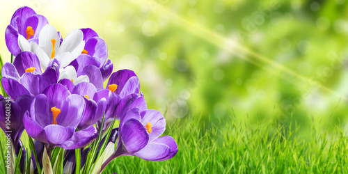 Tuinposter Krokussen Beautiful Spring Crocus Flowers