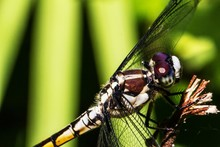 Female Blue Dasher Dragonfly Close Up