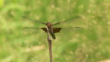 Widow Skimmer (Libellula Luctuosa) Dragonflies Fight For A Perch