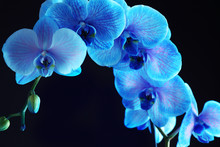 Beautiful Blue Orchid Flower On Black Background