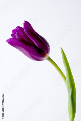 bialy-tyl-i-fioletowy-tulipan