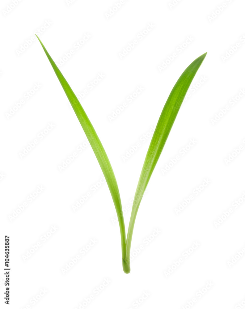 Fototapety, obrazy: blade of grass isolated on white background