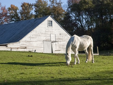 White Horse And Dutch Barn: A White Horse Grazing In Front Of An Old Dutch Barn Near LaGrangeville, New York In Dutchess County