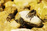 Fototapeta  - Dwa kraby na skale