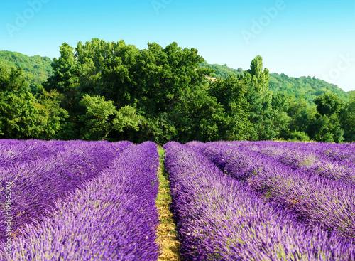 Tuinposter Lavendel Rangées de lavande sur fond verdoyant