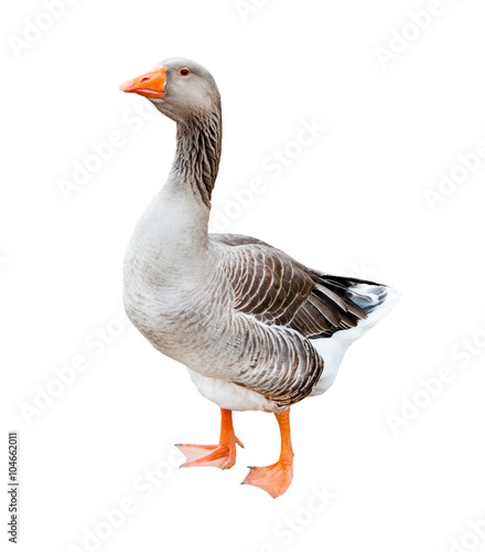 A grey goose, isolated on white background