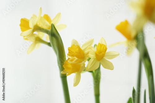 Papiers peints Narcisse Нарцисс