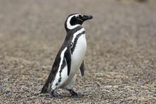 Magellanic Penguin / Patagonia...
