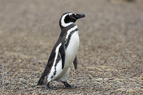 Magellanic Penguin / Patagonia Penguin walking on the beach