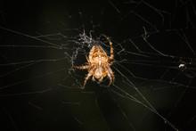 A Dorsal View Of A Female Garden Spider, Araneus Diadematus, Lit Up Against A Dark Background