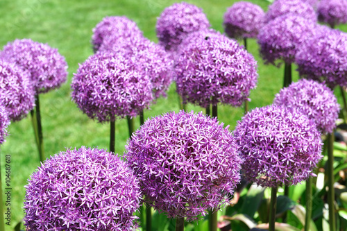 purple allium lucy ball flower blooming in spring Canvas Print