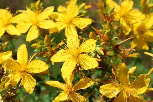 Photo  Yellow beautiful flowers of St.-John's wort