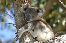Koala At Port Stephens Area, ...