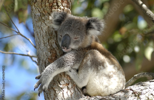 Staande foto Koala koala at Port Stephens area, NSW, Australia.