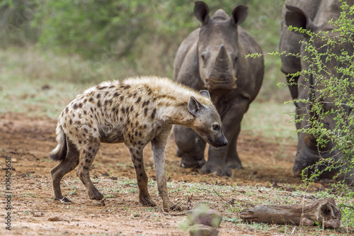 Poster Hyène Spotted hyaena and white rhinoceros in Kruger National park, Sou