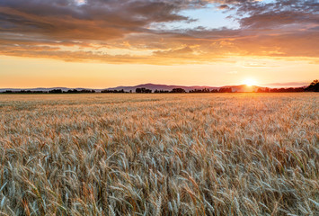 Naklejka Wheat field at sunset