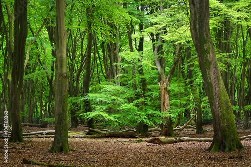 Fototapeten Wald Spring forest in the Netherlands