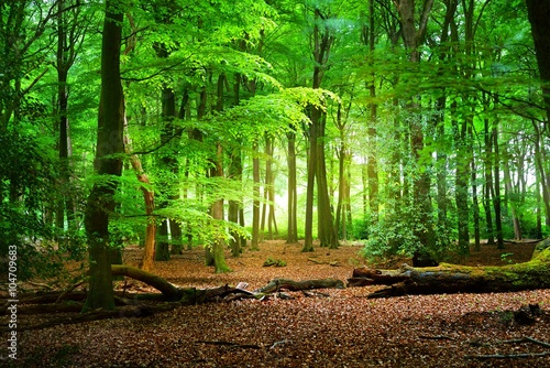 Walkway in a green spring forest. Veluwe, the Netherlands. Panoramic scenery. Mighty deciduous trees (oak, beech, maple), tree logs, carpet of golden leaves. Nature, seasons, ecology, ecotourism